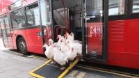 一群鹅在国外成了网红, 可以自己上下公交, 保镖还是牧羊犬