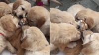 狗崽太热情橘猫被舔得受不了引网友调侃