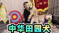 我爱中华田园犬, 它是我家的一员!