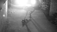 男子凌晨驾车偷狗被拍 下药偷狗1分钟全搞定