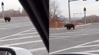 熊出没! 黑龙江马路惊现大黑熊 司机吓坏
