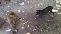 猴子和狗打架, 情急之下直接拿锅甩过去, 网友: 泼猴胆敢欺负哮天犬
