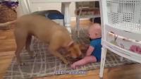 宝宝偷偷爬进狗窝睡觉, 狗狗发现后的反应, 爸妈快笑翻了