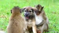 超贱猴子跟狗打架, 全是用些下三滥的招数!