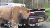 狮子咬住车尾磨牙, 车主立马踩油门, 镜头拍下全过程