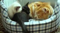 小黑猫向橘猫示好, 结果橘猫张嘴就咬, 小黑猫蒙圈了