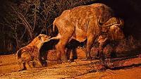 刚和狮子战斗过的老牛遇到鬣狗, 被掏肛毫无反抗之力