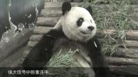 一个信号突然中断了的大熊猫 缘大: 朕只是想发个呆