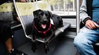 美国一只成精的狗狗, 每天坐公交车遛自己, 这下主人解放了