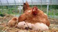 """动物界的""""圣母""""典范, 猫狗猪都成它怀里的常客, 网友: 母爱泛滥"""