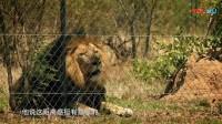 """""""狮语者""""凯文逗趣模仿狮子发音,小老虎遇见狮子:请保持距离感"""