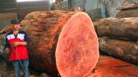这棵大树直径比人还高, 被锯成薄板后, 老板又要挣不少钱