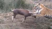 羚羊把老虎当成了猫咪猛怼, 老虎: 你出门是不是没带脑子!