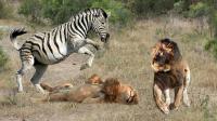 动物为什么会害怕斑马, 看看这匹斑马是如何造脸狮子的!
