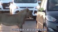 狮子一口咬住汽车门把手, 车主赶紧猛踩油门, 镜头拍下全过程!