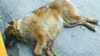 好狗绝不死在家中, 为什么农村土狗临死前要离家出走? 看完心情沉重