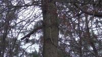 镇雄发现大型野生海棠-果肉酸甜人鸟可食