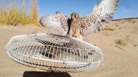 阿拉伯人用风扇罩做陷阱, 麻雀当诱饵, 在沙漠里捕捉隼!
