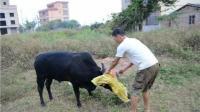 为什么农村杀牛之前, 都要蒙上牛的眼睛? 看完让人泪目