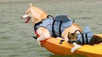 一只被哈士奇带大的猫咪, 言行举止果然够二, 笑得肚子疼!