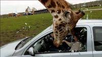 游客坐车里喂食长颈鹿, 下一秒长颈鹿的反应让人意外, 成精了!