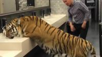男子在卫生间偶遇老虎, 发现是真老虎, 撒腿就跑