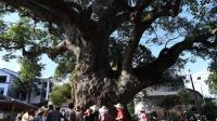 江西小村的千年古树, 树洞能容纳十几人打麻将, 如今已成古迹!