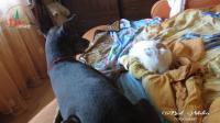 """""""本宫在, 谁也别想上位! """"猫咪霸占沙发, 杜宾犬也没招"""
