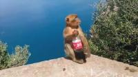 猴子抢走游客手中可乐, 跑到一边就开喝, 结果下一秒悲剧了