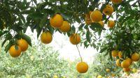 家乡的味道--廉江红橙的诱惑