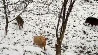 天降大雪, 过年肥猪逃出猪圈, 回来时还跟了几头野猪……