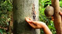 姑娘丛林生存, 树上收集大量树脂, 黑夜点燃树脂照明