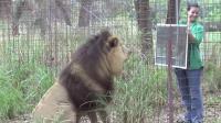 将镜子放在猫科动物面前会发生什么? 网友: 狮子霸气, 豹子退群吧