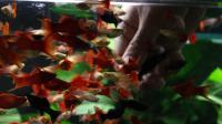 二米火炬缸开缸全记录—亮哥养鱼频道