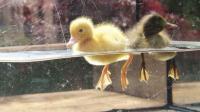小鸭子游泳看起来优雅, 实则脚下忙个不停, 水下视角记录全过程!