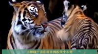 幼年的小老虎杀伤力有多大? 说出来你可能都不信