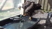 把老鹰和玩具鸭放在一起, 会怎么样呢? 请憋住别笑!