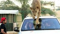 看看迪拜土豪养的宠物, 网友: 真怕哪天宠物不高兴把主人吃了!