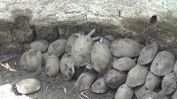 乌龟成群掉进坑里, 印度人民伸出援手, 108只乌龟全部安全救出