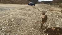 小鹿被困泥沼中, 机械挖泥臂小心挖出