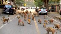 5000只猴横行印度街头 闯总统府撕公文