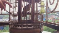 鸟友把笼衣打开, 里面有一只母画眉鸟, 发出了清脆响亮的叫声!