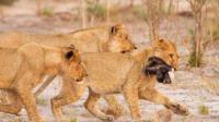 平头哥遭狮群偷袭, 战斗力爆棚, 平头哥: 临死我也要拉个垫背的