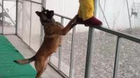 一只超级暖心的马犬, 谁家有这种狗狗, 麻烦给来一打