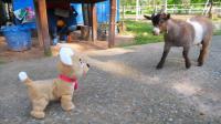 萌娃小可爱这是在哪儿玩呢? 真有趣! 小家伙的玩具狗狗和绵羊吵架的样子真是萌萌哒!
