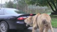 狮子咬住车尾不松口, 车主立马踩油门, 镜头拍下意外的画面!
