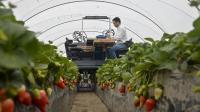 老外发明全自动化草莓收割机, 24个机械手臂, 一台能抵20人!