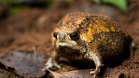 世界上最笨的青蛙, 不会跳不会水, 一不小心就会气炸!