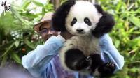 养不起! 马来西亚将提前送还大熊猫