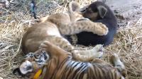 网友做实验, 将狗、狮子和老虎放在一起, 你猜会发生什么?